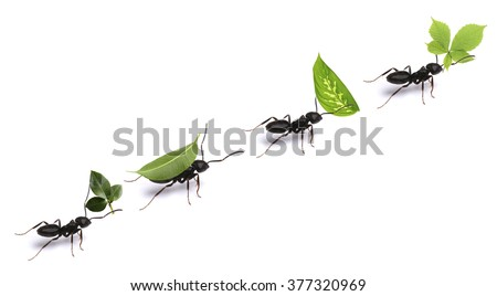 Small ants carrying green leaves, isolated on white. - stock photo