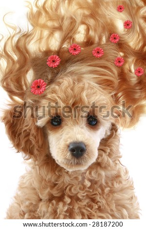 Small apricot poodle puppy with long hair on white background - stock photo