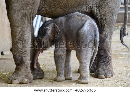 Small Asian elephant baby