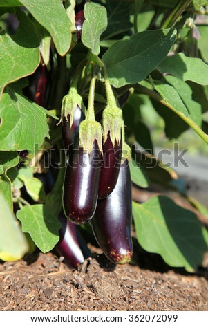 Small Aubergines or Eggplant on plant in garden surrounded by green leaves with dirt showing at base