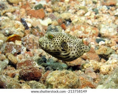 Small baby giant pufferfish on sand stock photo for Puffer fish sand art