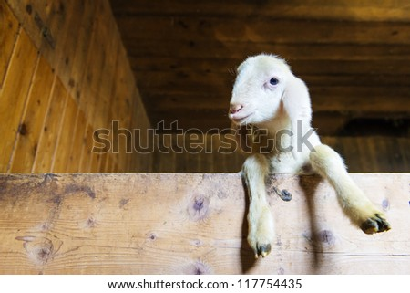 small baby sheep or lamb looking over wooden board - stock photo