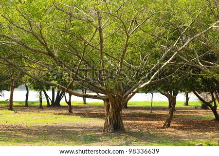 Small banyan tree with wide branches. - stock photo