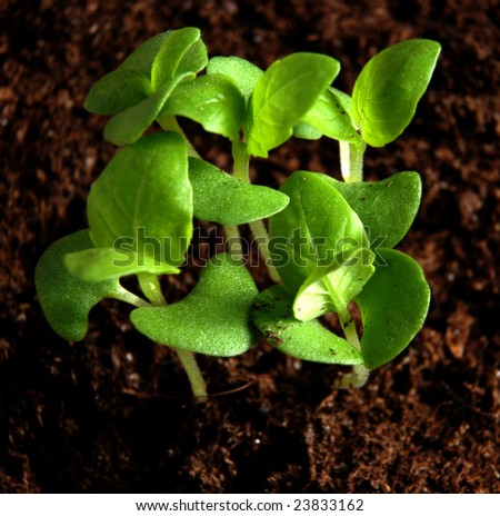 Small basil plants growing in soil - stock photo