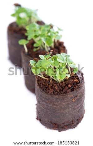 Small Basil seedling isolated on pure white background - stock photo