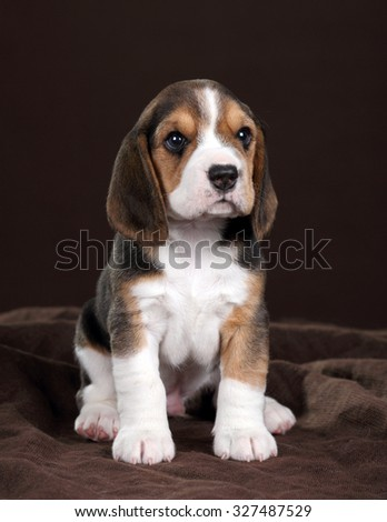 Small beagle puppy sitting on a brown background