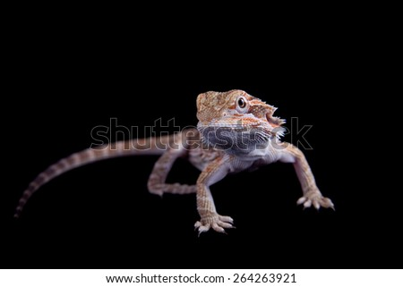 Small bearded dragon, pogona vitticeps, isolated on black background - stock photo