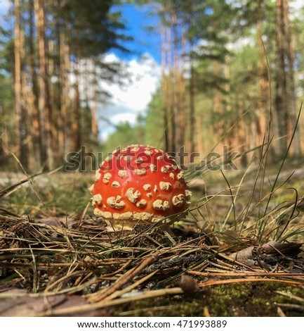 small beautiful red mushroom amanita on background of pine trees and blue sky