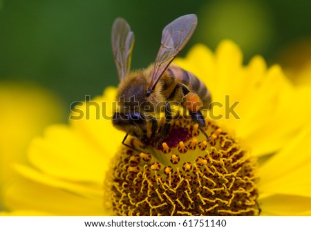 small bee collects nectar on yellow flower - stock photo