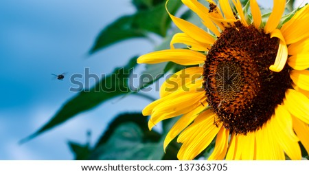 Small Bee Flying into a yellow Sunflower on a Bold Blue Sky - stock photo
