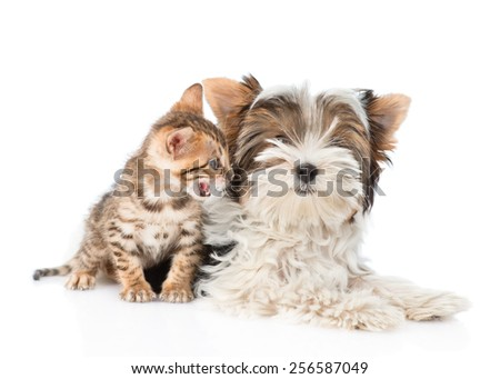 Small bengal cat and Biewer-Yorkshire terrier puppy lying together. isolated on white background - stock photo