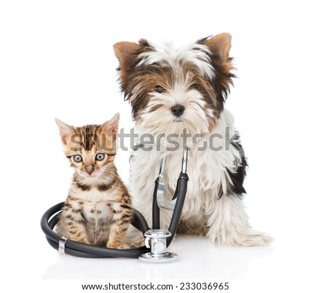Small bengal cat and Biewer-Yorkshire terrier puppy with stethoscope on his neck. isolated on white background - stock photo