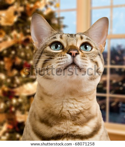 Small bengal kitten waiting pensively for santa claus by out of focus christmas tree - stock photo