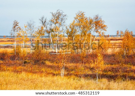 Small birches in marshland with yellow foliage in the autumn