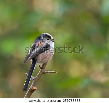 Small bird adult Long-tailed Tit calling - stock photo