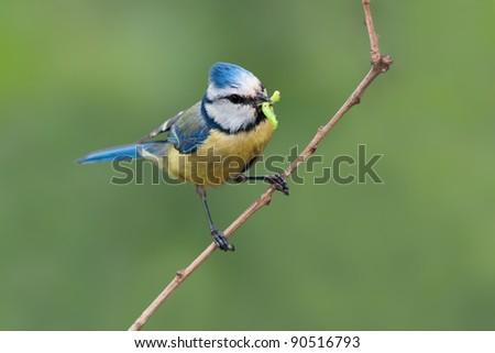 small bird (blue tit) with a caterpillar prey - stock photo