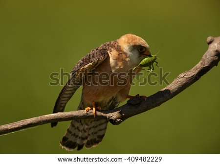 Small bird of prey, Red-footed Falcons, Falco vespertinus, female with big grasshopper prey in beak, on branch against green background. Hungary. - stock photo