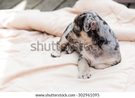 Small Black and Gray Puppy Laying Outside on Dog Bed - stock photo