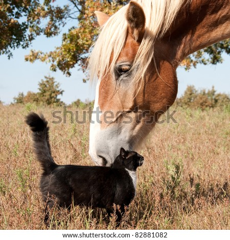 Small black and white cat rubbing himself against a huge Belgian Draft horse - stock photo
