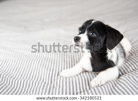 Small Black and White Terrier Mix Puppy Relaxing on Bed - stock photo