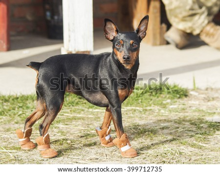 Small black brown dog walking on the grass in brown boots