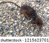 small black brown shrew  shrew  ...