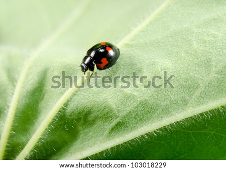 small black ladybug with red spots - stock photo