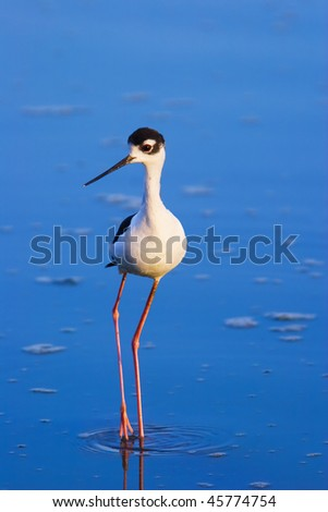 Small black-necked stilt bird wading through blue water - stock photo