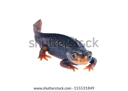 Small black newt isolated on white