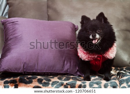 small black pomeranian sitting on the couch with a winter vest - stock photo