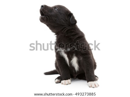 Small, black puppy cries and howls, isolated on white