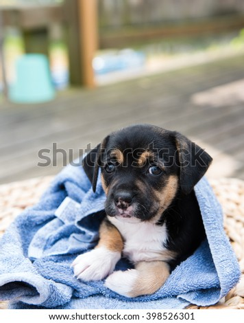 Small Black Puppy Drying Out Outside After Swimming or Taking a Bath