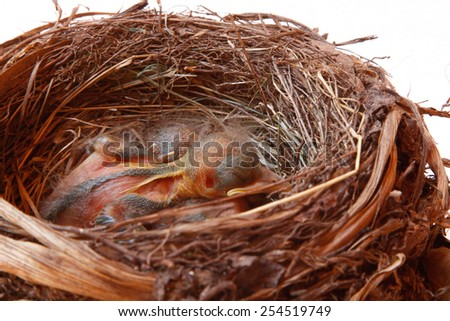 small Blackbirds just leave the egg in the nest - stock photo
