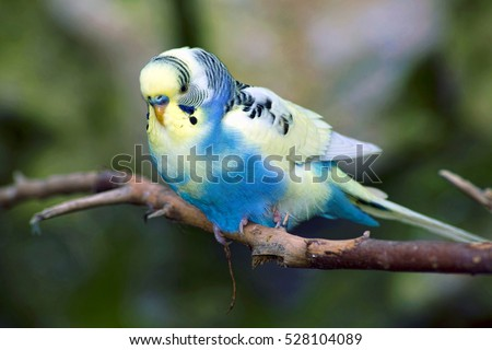 Small blue and yellow Parakeet  bird.
