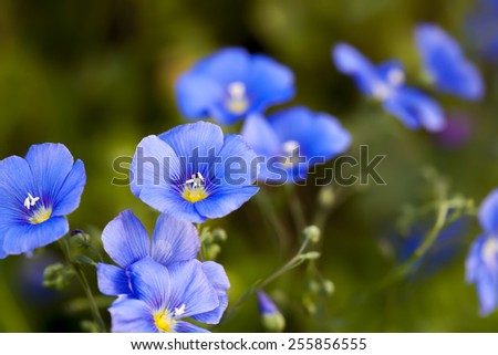 Small blue flowers of flax (linseed, linum usitatissimum), close up with green background