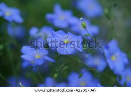 Small blue flowers of flax (linseed, linum usitatissimum), close up with green background - stock photo
