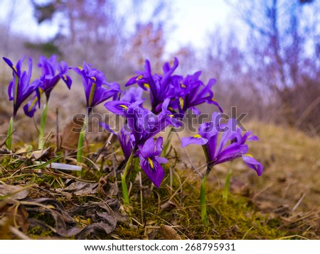 Small blue iris flowers in the garden. Early springtime - stock photo