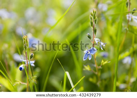 Small blue Wildflowers background (shallow depth of field) - stock photo