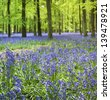 small bluebell flowers carpet the floor of ashridge woods near berkhamsted in the chiltern hills hertfordshire engalnd - stock photo