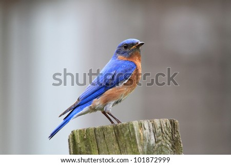 Small Bluebird sitting on a post - stock photo