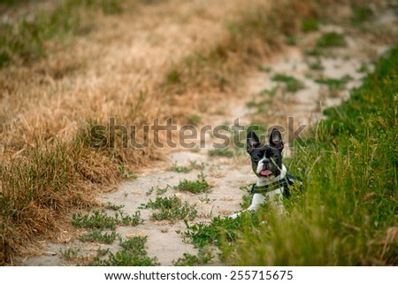 Small Boston Terrier resting in the grass on path through the fields - stock photo