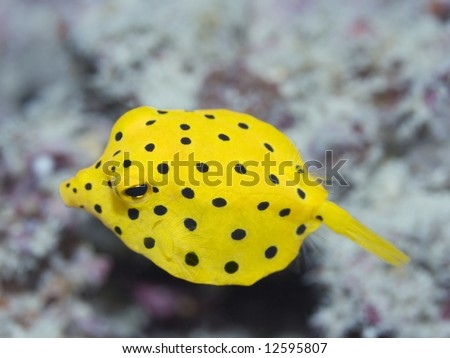 Small boxfish underwater close-up. Celebes sea. Sipadan. - stock photo