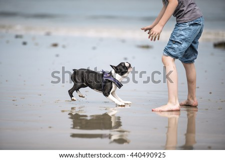 Small Boy playing happily with Boston Terrier at the beach - stock photo
