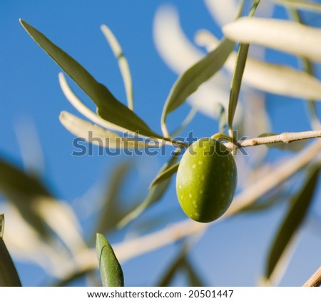 small branch one olive's fruit (crop)