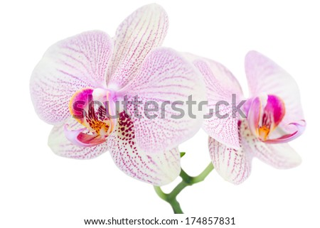 Small branch with two spotted orchids isolated on white - stock photo