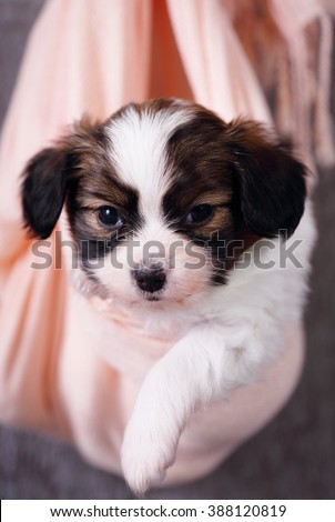 Small breed papillon puppy hanging in fabric - stock photo