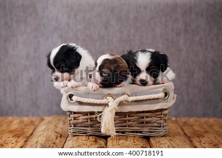 small breed puppies Papillon in a wicker basket - stock photo