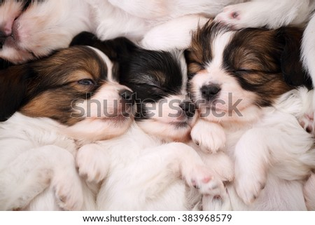small breed puppies Papillon sweetly sleeping on fur - stock photo