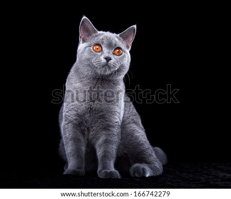 Small british cat on a black background - stock photo