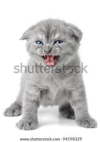 small british  kitten the age of 1 month on the white background - stock photo